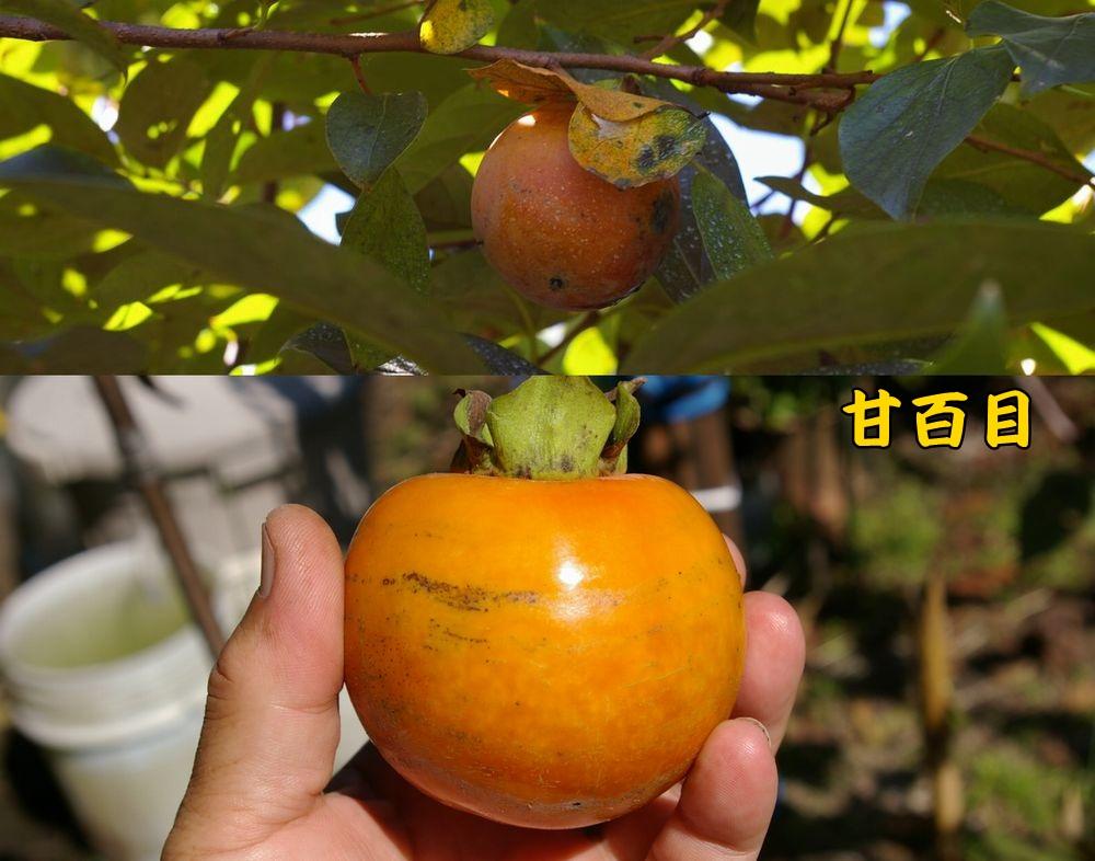amahyaku1004c1.jpg