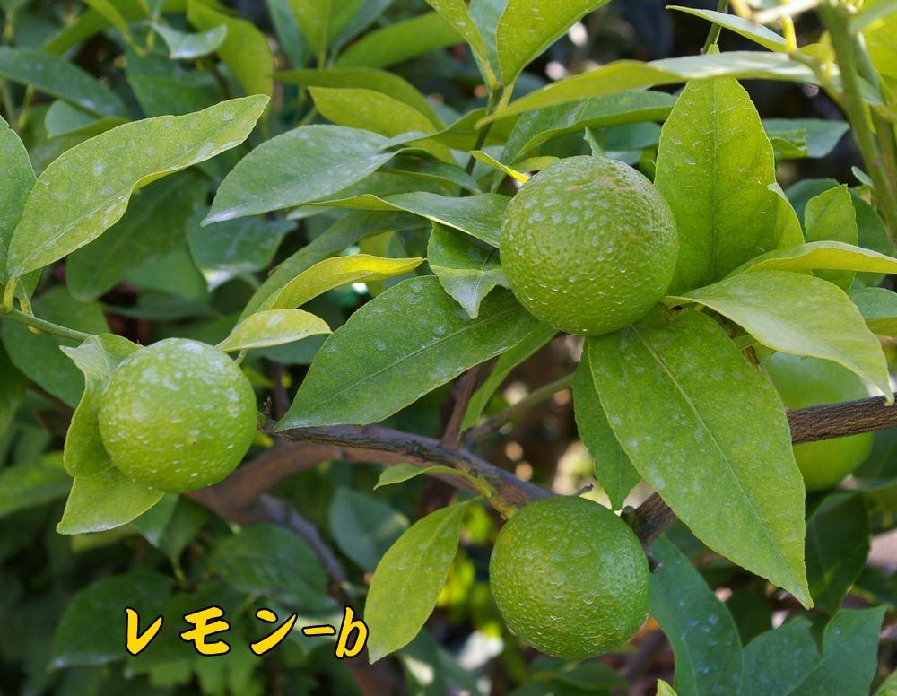 lemon1020c2.jpg
