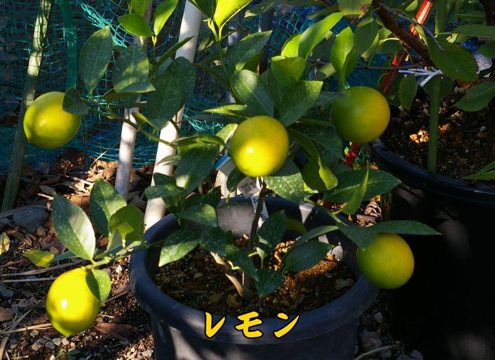 lemon1102c1.jpg