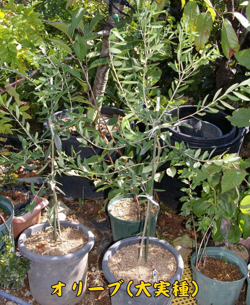 olive1002c1.jpg