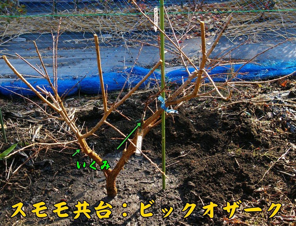 sumomo1201c1.jpg