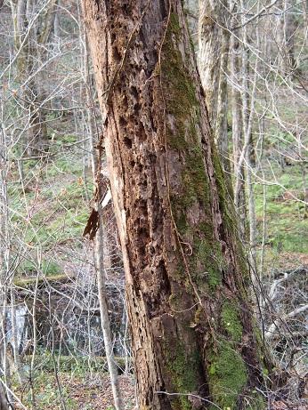 苔むす古木