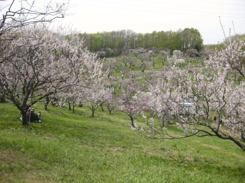 平岡公園梅まつり527