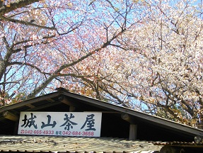 城山桜2013.4