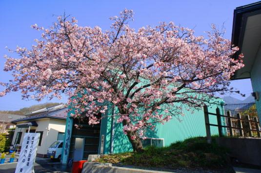 桜の花見 内船駅 反対