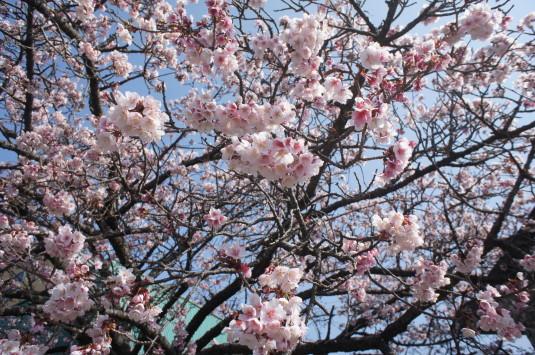 桜の花見 内船駅 アップ
