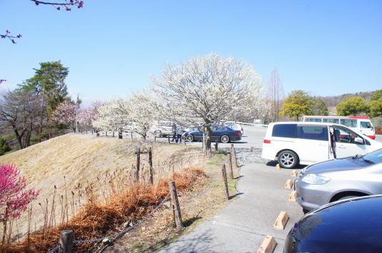 梅の花 敷島総合公園 駐車場
