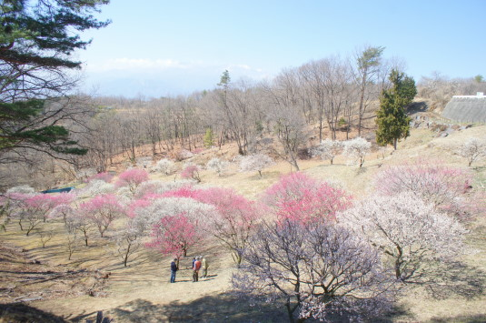 梅の花 敷島総合公園 右側