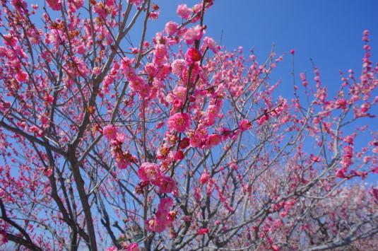 梅の花 敷島総合公園 花