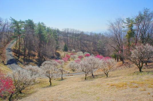 梅の花 敷島総合公園 左側