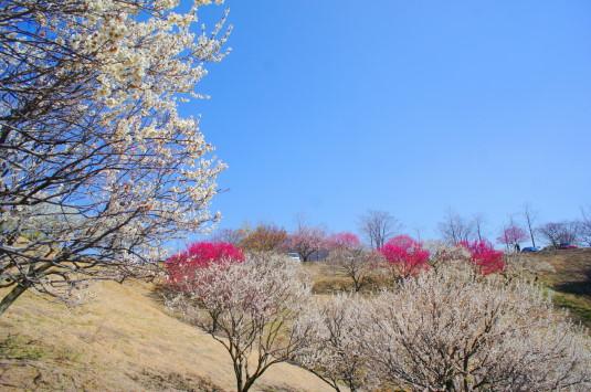 梅の花 敷島総合公園 左側 斜面