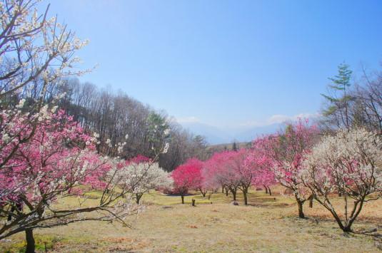梅の花 敷島総合公園 左側 鳳凰三山