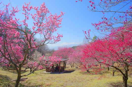 梅の花 敷島総合公園 左側 小屋