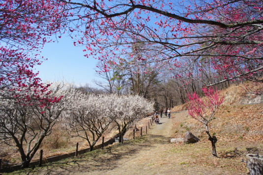 梅の花 敷島総合公園 下 通路