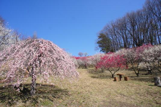 梅の花 敷島総合公園 右側 下