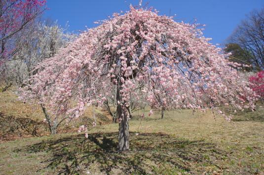 梅の花 敷島総合公園 しだれ梅
