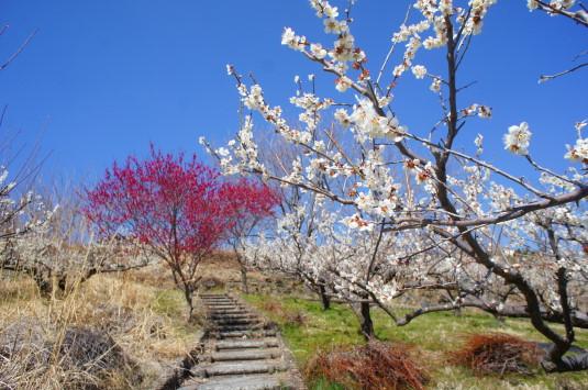 梅の花 矢木羽湖公園 階段