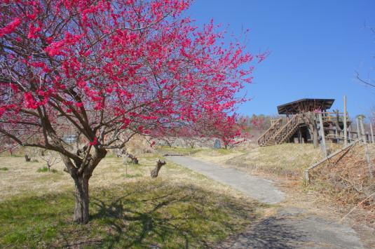 梅の花 矢木羽湖公園 展望台