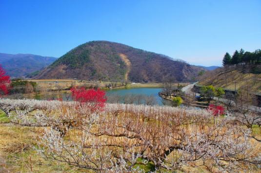 梅の花 矢木羽湖公園 梅と湖