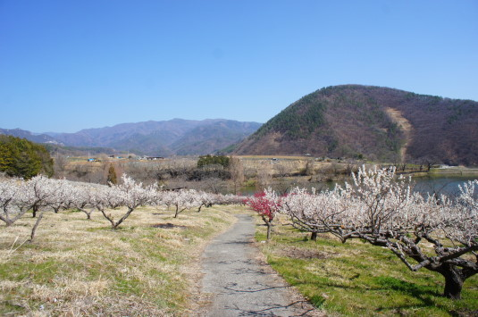 梅の花 矢木羽湖公園 梅畑