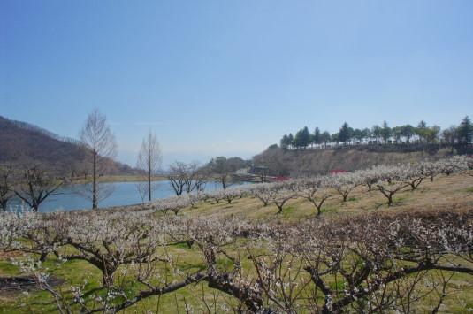 梅の花 矢木羽湖公園 富士山