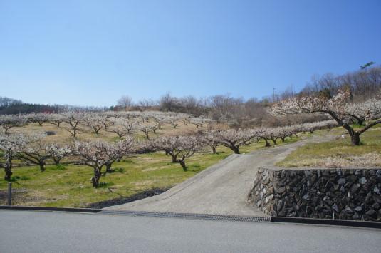梅の花 矢木羽湖公園 こっちの道