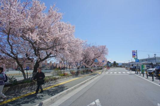 桜 韮崎駅前 富士山