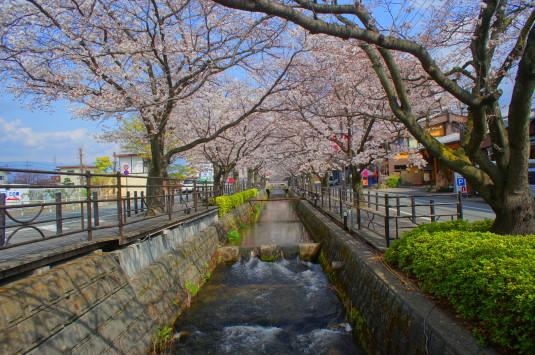 桜 さくら温泉通り 川正面