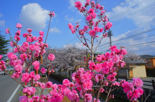 桜 さくら温泉通り 花