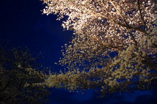 桜 信玄堤公園 ライトアップ 花