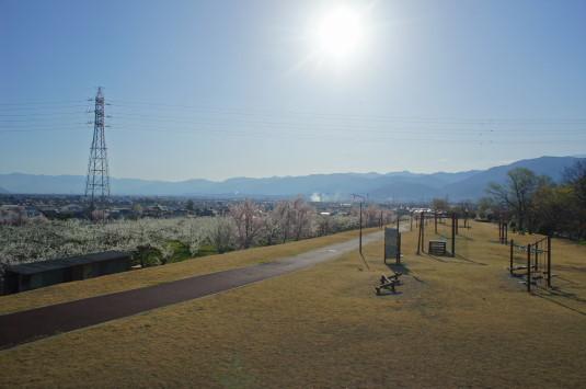 すももの花 秋山川公園 公園