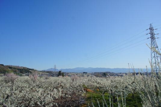 すももの花 秋山川公園 遠景