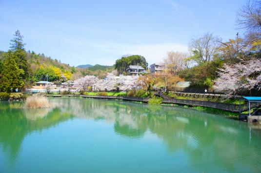 桜 月見が池 池