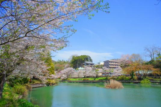 桜 月見が池 デッキから