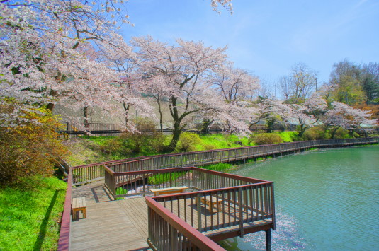 桜 月見が池 反対側