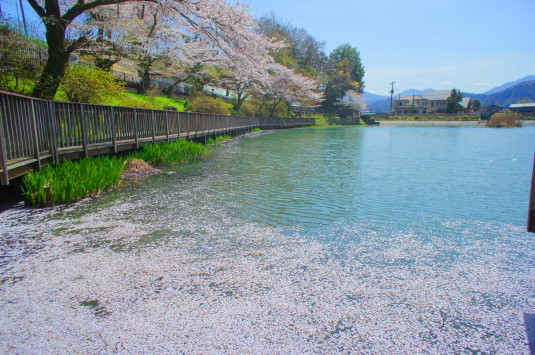 桜 月見が池 桜の花