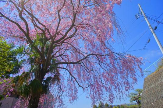 桜 月見が池 しだれ桜