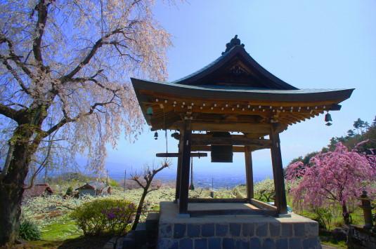 桜 普済寺 桜と鐘堂