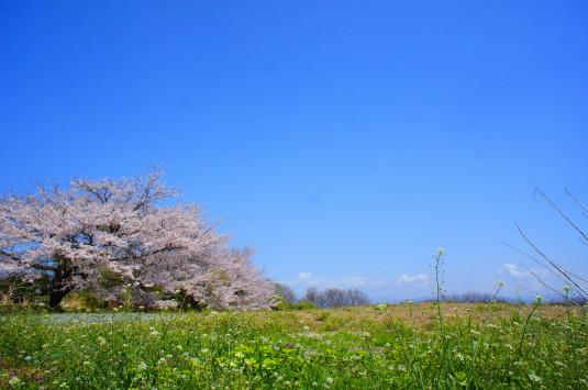 天空菜の花 桜 別アングル
