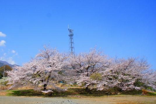 天空菜の花 振り向く 桜