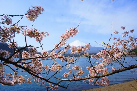 桜 産屋が崎 桜下