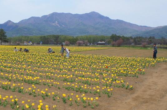 チューリップ 花の都公園 カメラマン