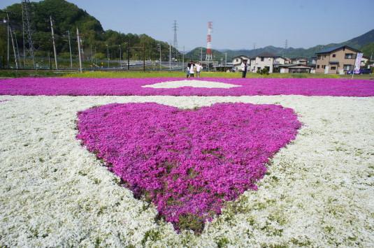 ハートの芝桜 白地にピンク