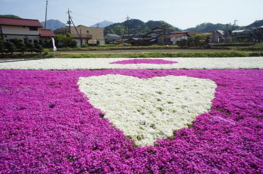 ハートの芝桜 ピンク地に白