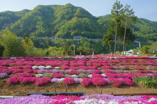 芝桜 大月 谷