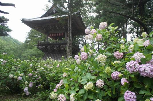 妙法寺 あじさい 鐘楼と紫陽花
