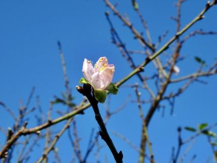 季節外れのアーモンドの花1