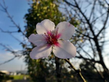 季節外れのアーモンドの花2