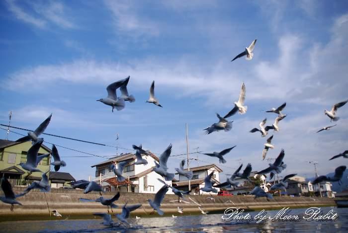 カモメ(鴎) 愛媛県西条市北浜南 西条漁港