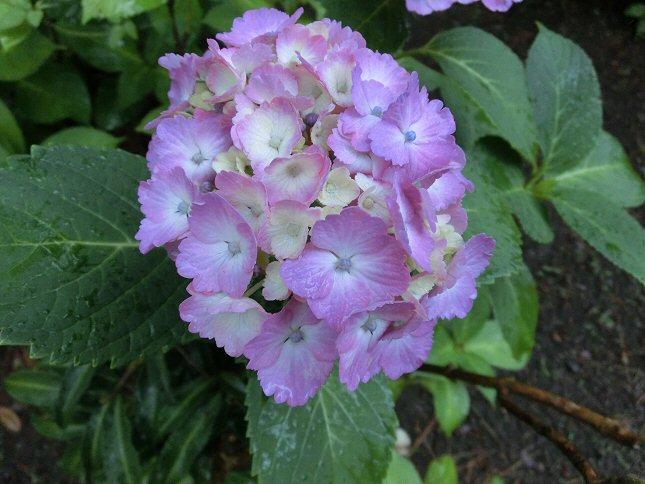 あじさい紫CIMG0173